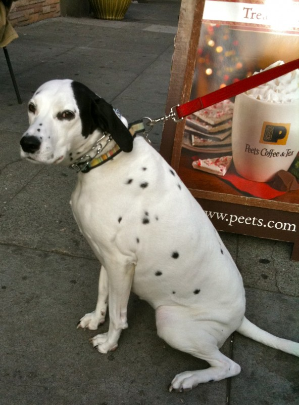 Dog Of The Day English Pointer Mix The Dogs Of San