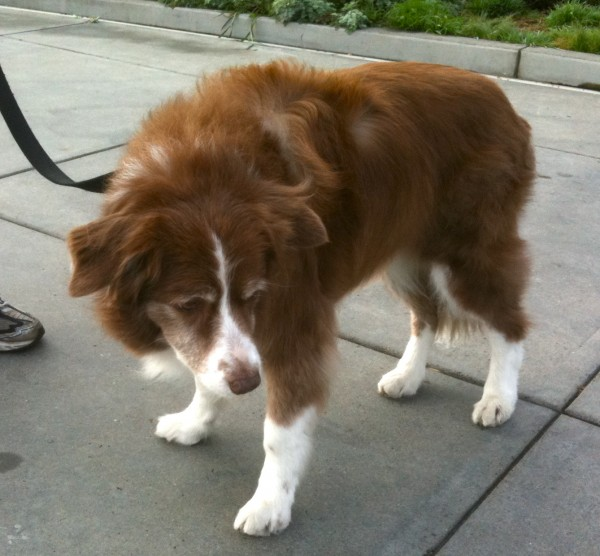 Dog of the Day: Red Australian Shepherd   The Dogs of San ...