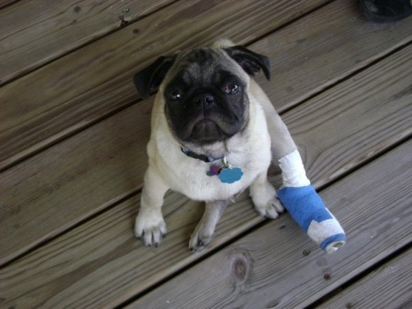 Poor little guy broke his leg tearing around, and was in that cast for over a month.