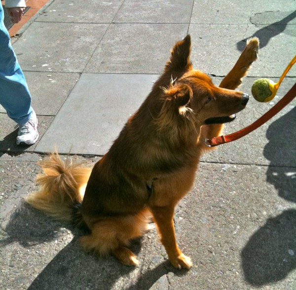 This is trick number one, 'gimme five'. He would hold up his paw and just wait there until you gave him five.