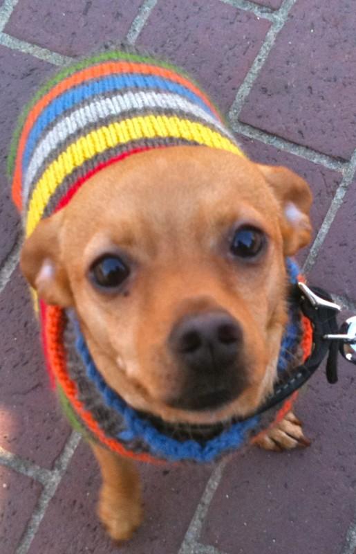 Kind of like a Chihuahua, but cuter.