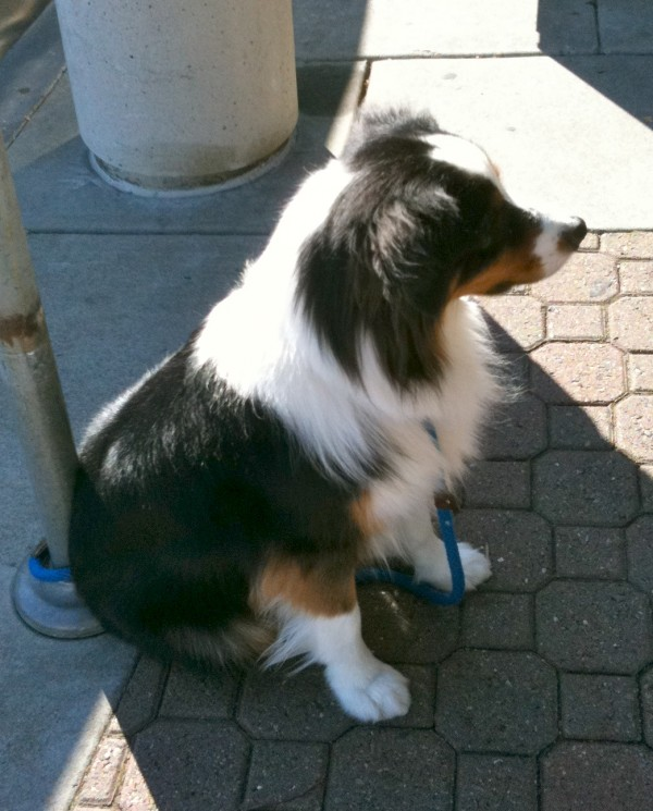 I always wondered whether all that fluff wasn't a little uncomfortable on a warm day. But this guy's not even panting.
