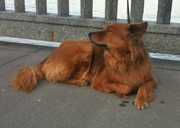 The words for fox in Irish are, literally, 'red dog' ('madra rua'). This must be the one they were thinking of.