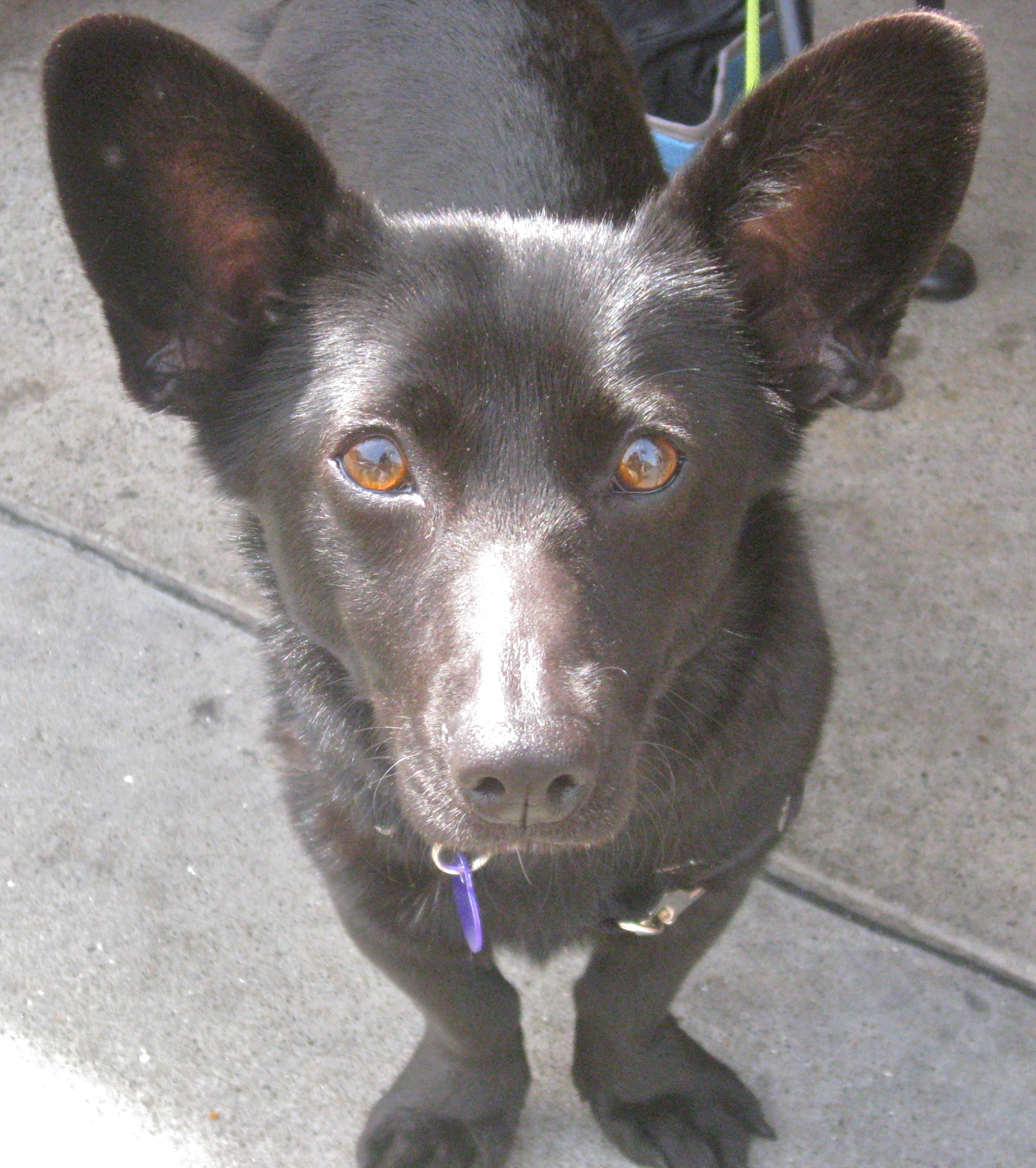Dog Of The Day: Zoë The Dorgi The Dogs Of San FranciscoThe Dogs ...