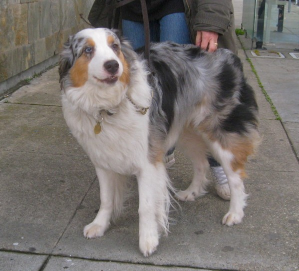She's a big one for an Aussie shepherd, but it's all muscle. And she's a leaner, too.