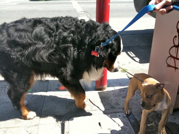 Is it...? Could it be? Yes! It's yesterday's puppy, meeting his first Bernese mountain dog too!