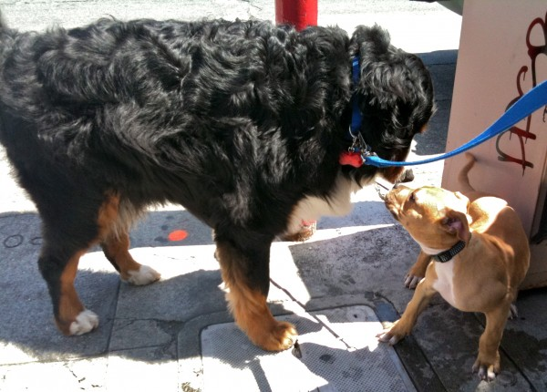 The pup was a little nervous, which you can't blame him for, even though a Bernese wouldn't hurt a fly.