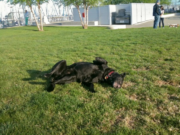 Yes, the results aren't pretty when your dog becomes (...wait for it...) addicted to grass. (Okay, you can groan now.)