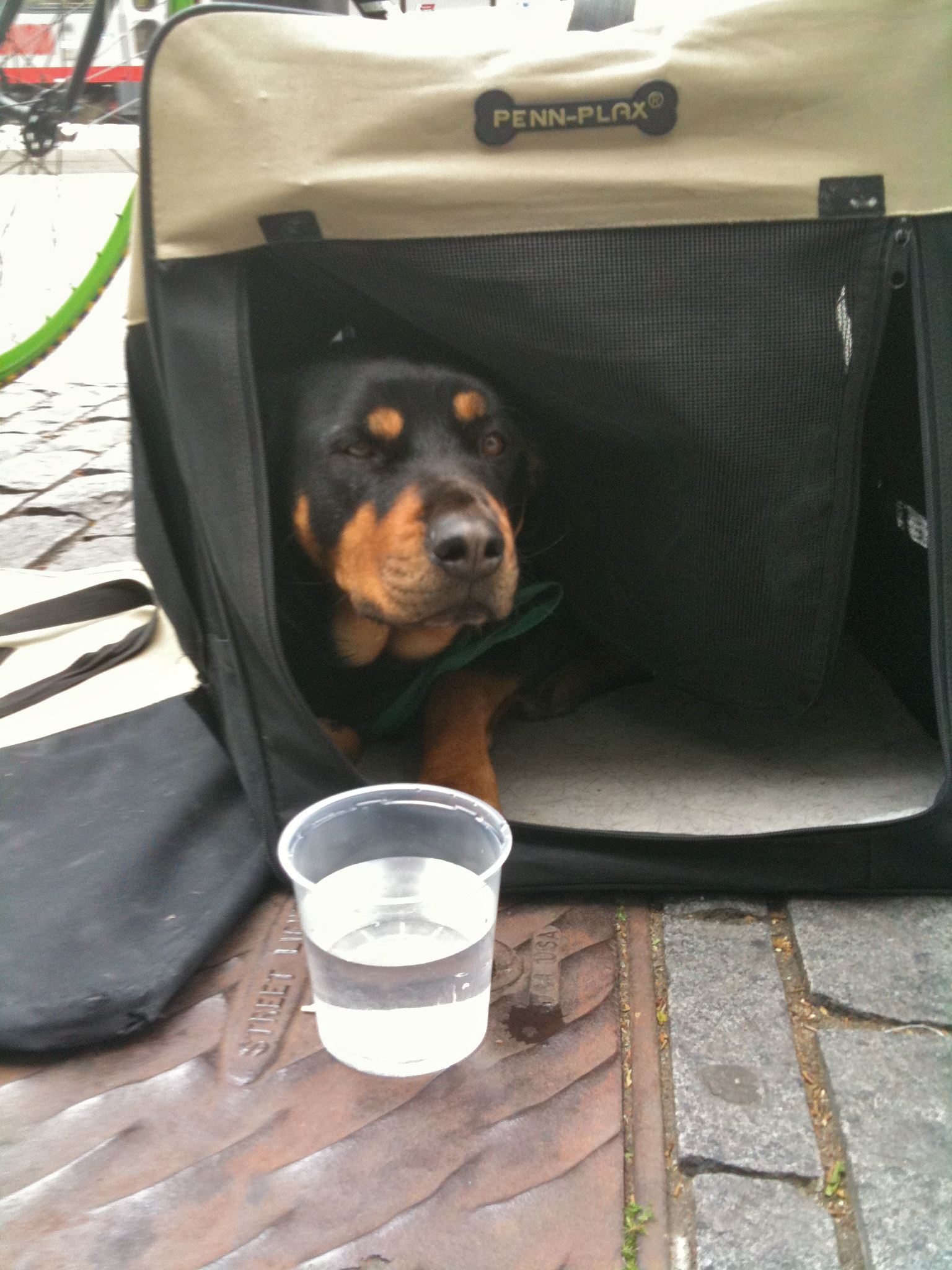 Dog Of The Day Very Patient Rottweiler The Dogs Of San