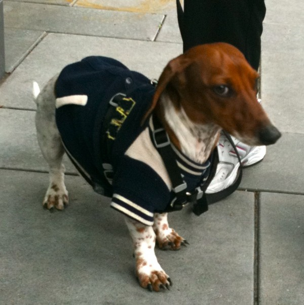Also, please tell me that that is a varsity jacket. Because a wiener dog in a varsity jacket is awesome.