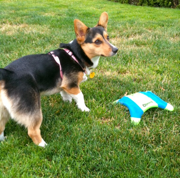 She was still a pup, and hadn't quite gotten the idea of 'fetch' yet. She seemed to think that the idea was to guard the frisbee once she got to it.