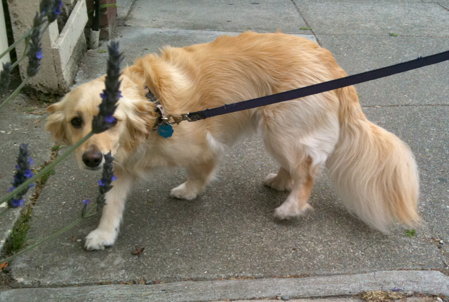 Dog Of The Day Greta The Golden Retriever Toy Poodle Mix The Dogs