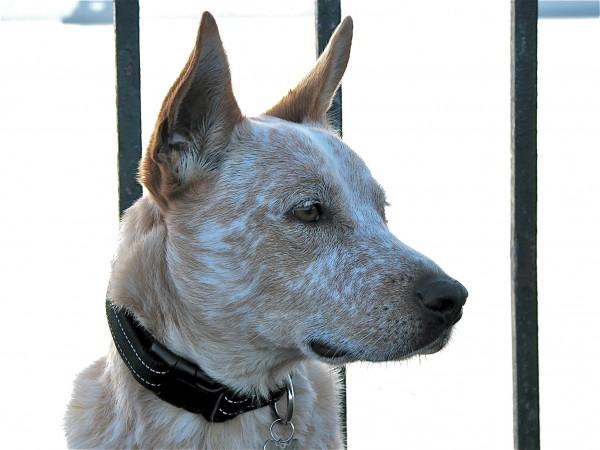 Australian cattle dog, aka red heeler, head shot