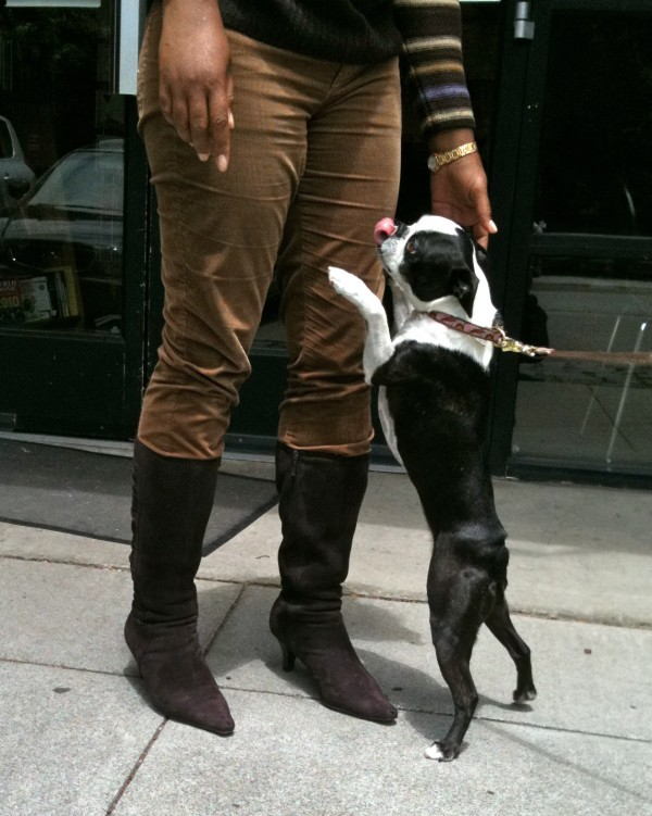 Boston terrier standing on hind paws