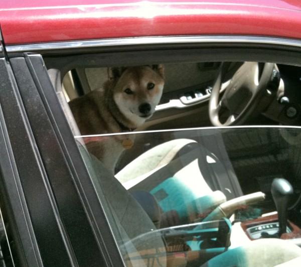 Shiba inu in a car.