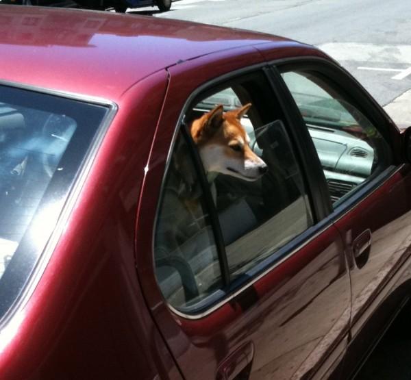 Shiba Inu poking his head out a car window