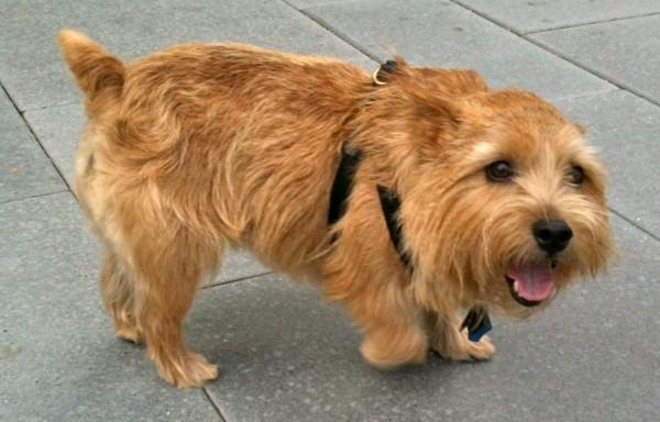 Norwich Terrier, happy face.