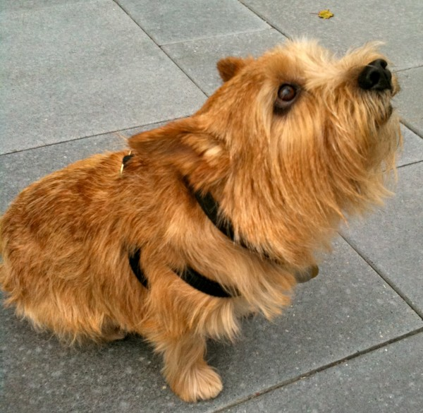 Olio the Norwich Terrier, sitting.