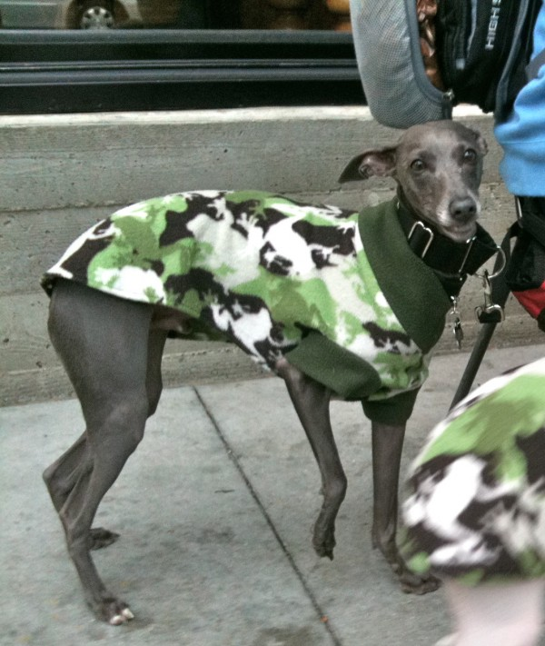 Whippet in urban camouflage
