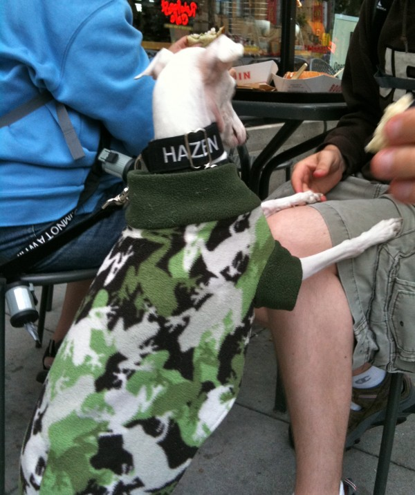 Italian greyhound in urban camoflage