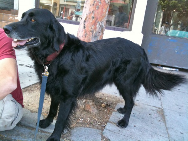 Black flat-coated retriever