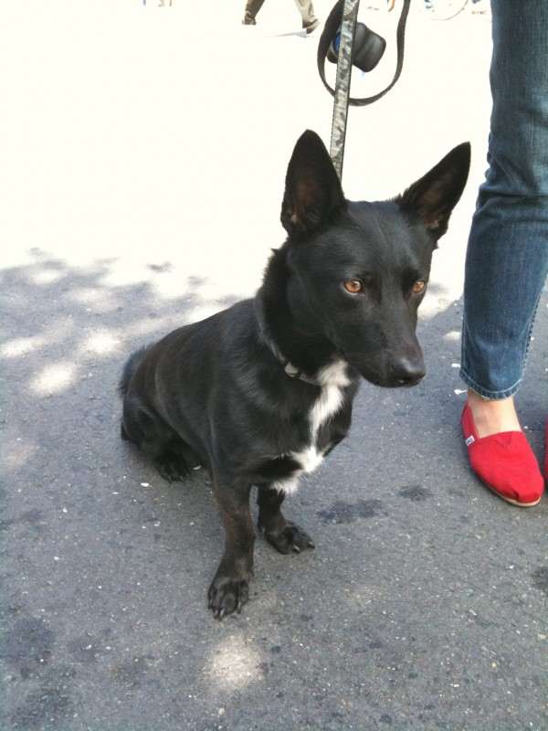 Black German shepherd/corgi mix, maybe?