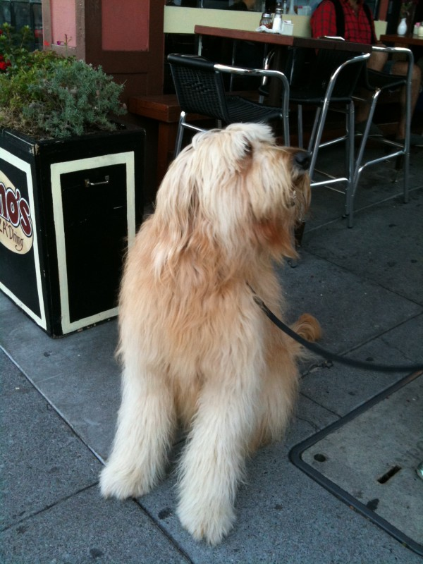 Extremely large seated goldendoodle
