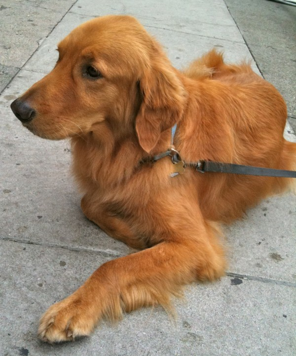 Golden retriever, lying down