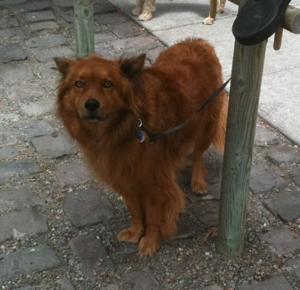 Fluffy reddish-golden dog of indeterminate provenance