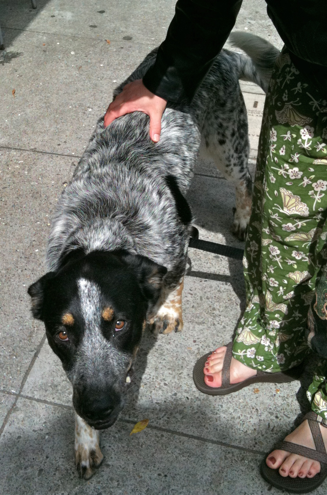 Dog Of The Day Mancha The German Shepherd Catahoula Leopard Dog Mix The Dogs Of San