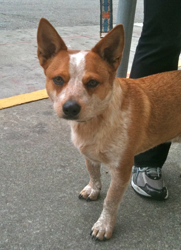 Red Heeler/Pembroke Welsh Corgi mix