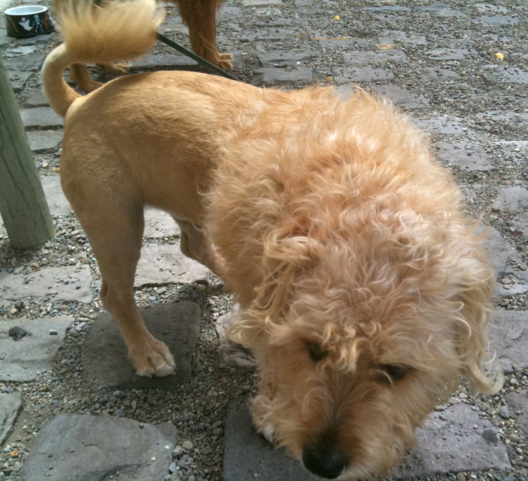 Dog Of The Day Wheaten Terrierglen Of Imaal Terrierlion Mix The