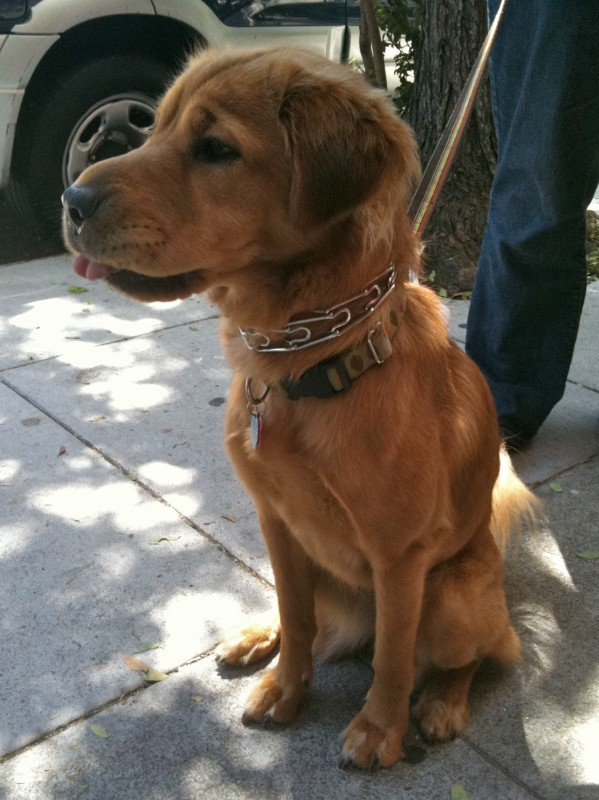 Shar-Pei/Golden Retriever mix