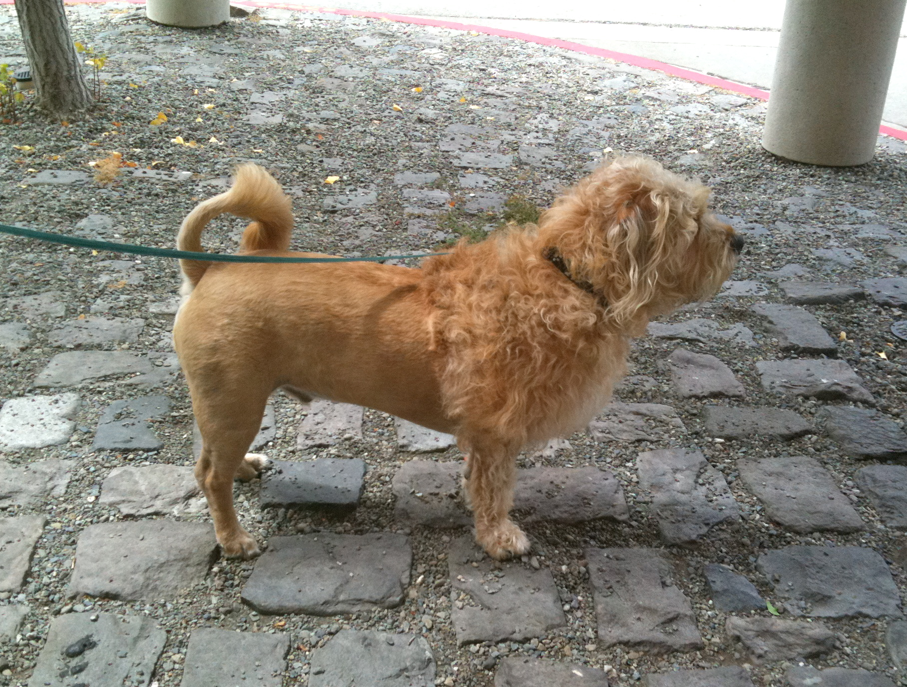 Dog of the day wheaten terrierglen of imaal terrierlion mix the terrier mix with lion cut altavistaventures Image collections