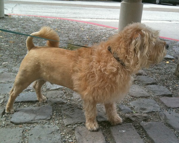 Terrier mix with lion cut