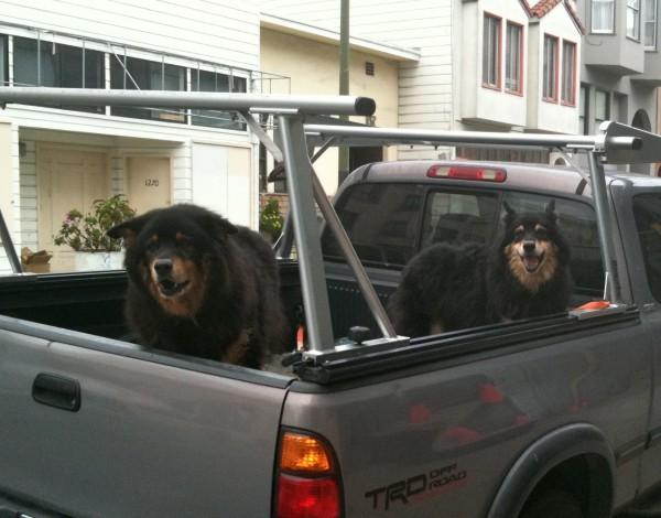 Half-Chow, Half-Rottweilers