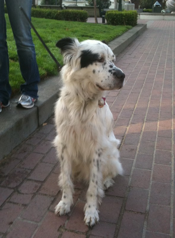 English Setter mix with heart-shaped spot