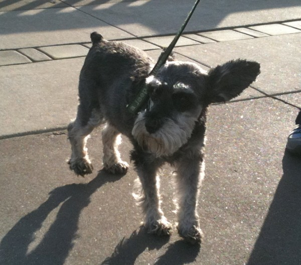 Schnauzer with 'up' ears