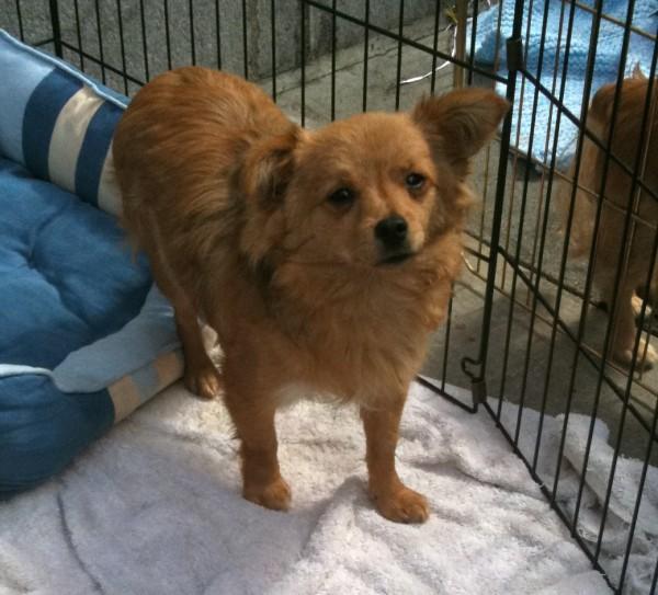 Pomeranian/Chihuahua Mix