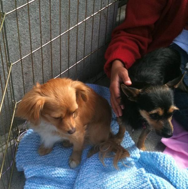 Half-Pomeranian, Half-Chihuahua