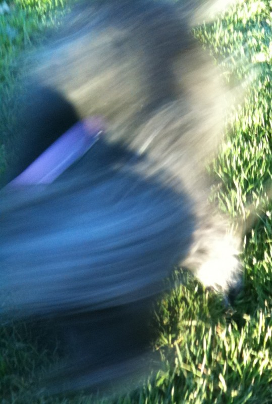 Glen of Imaal Terrier Blur