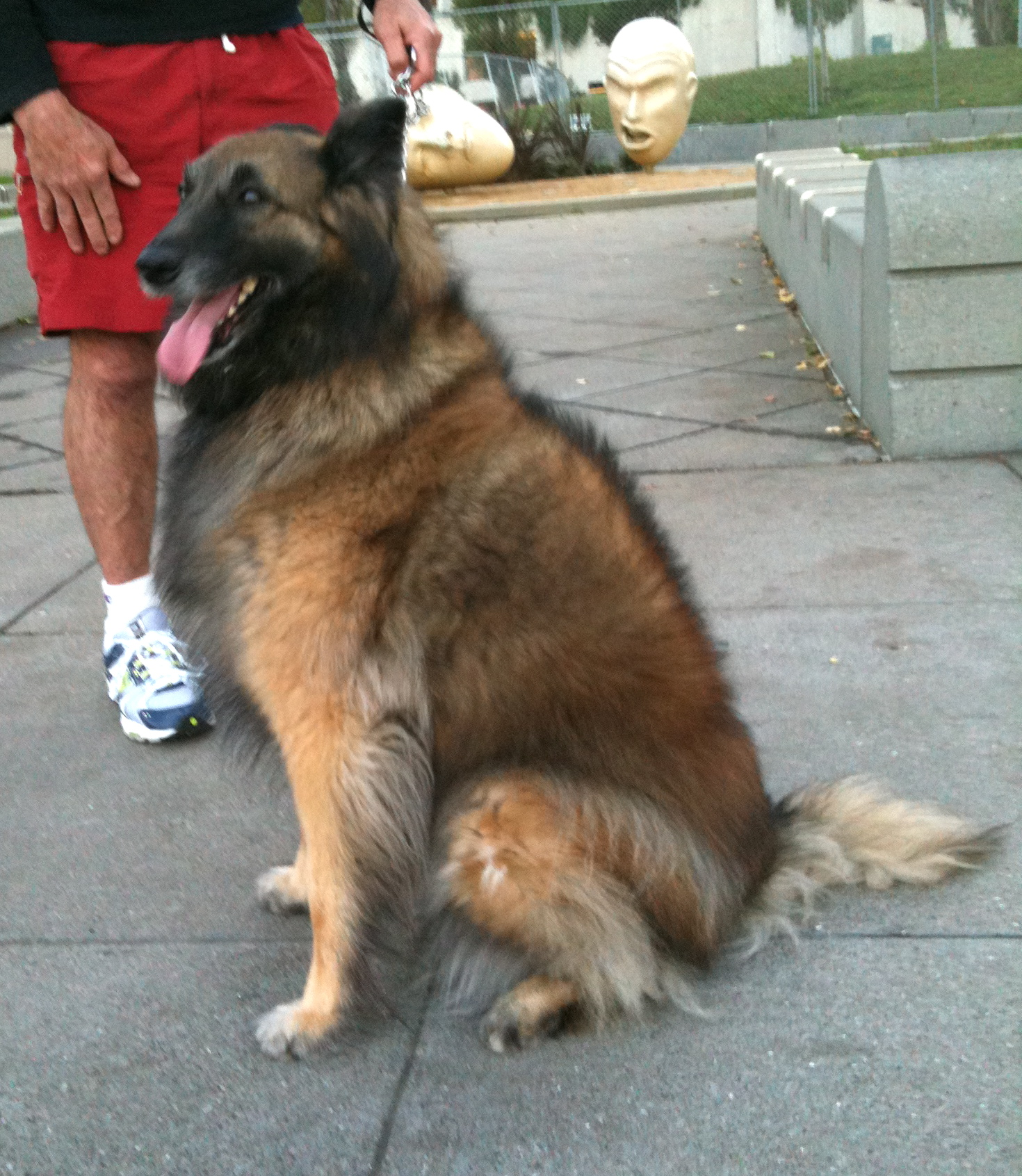 Dog Of The Day Sofie The Tervuren Belgian Shepherd The