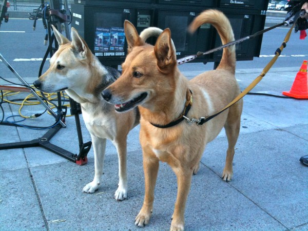 Two German Shepherd Mixes