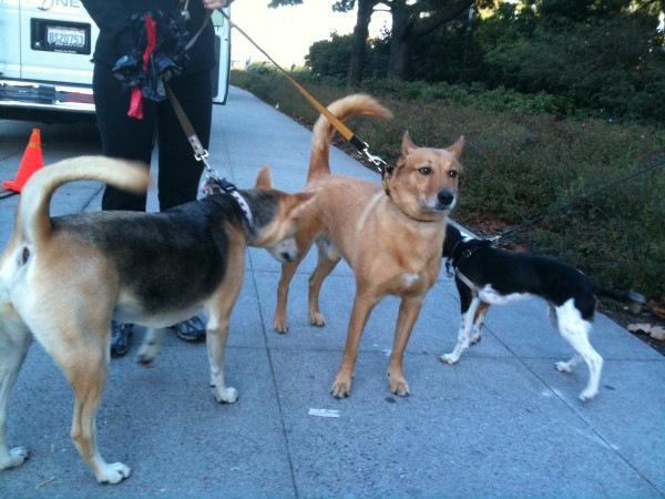 Two German Shepherd Mixes and a Beagle