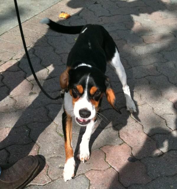 Half King Charles Cavalier Spaniel, Half Beagle
