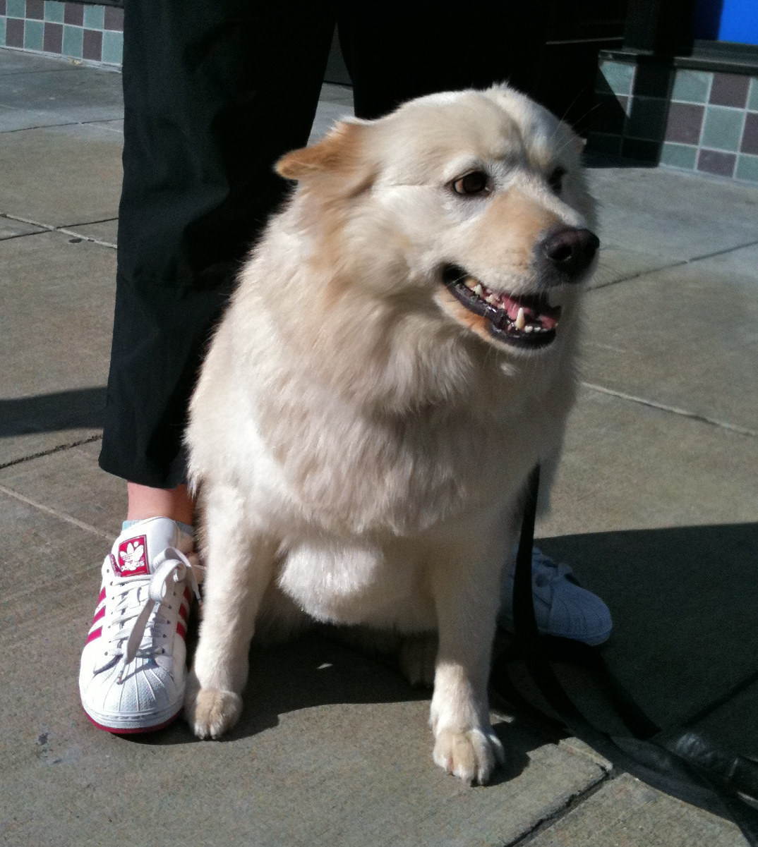 Dog Of The Day Malia The Samoyed The Dogs Of San