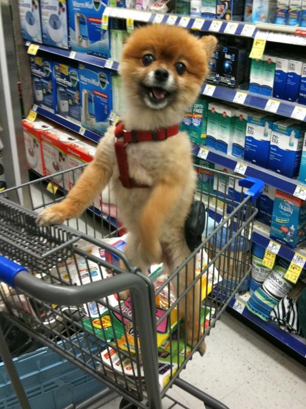 Pomeranian in a puppy cut