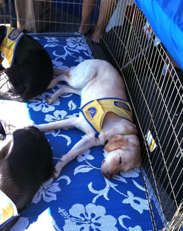 Yellow Labrador Retriever Assistance Dog