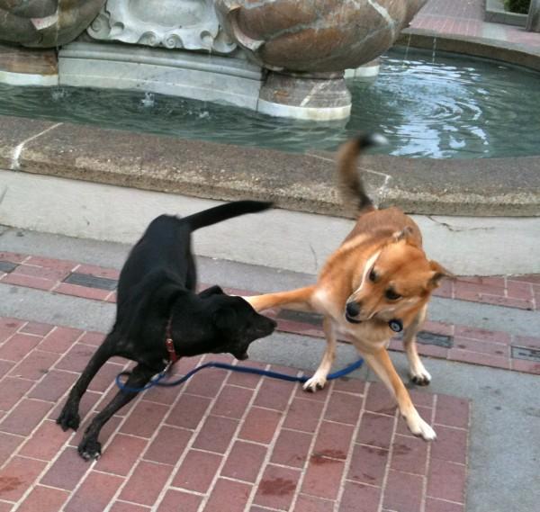 Black Labrador Retriever and German Shepherd Mix