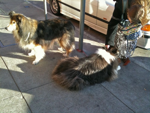 Two Tricolor Shelties (Shetland Sheepdogs)